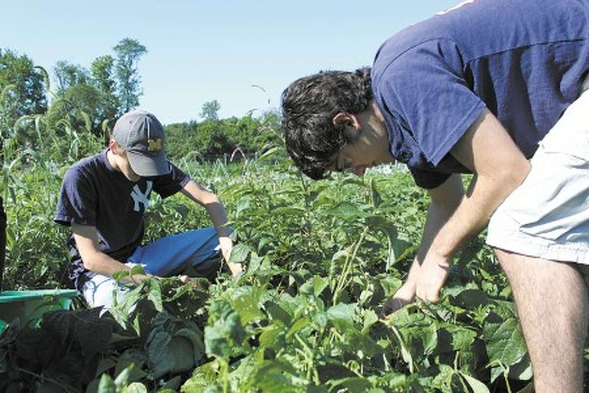 """Wilton teens pitch in at Ambler Farm with the """"Seeds to Streets"""" project, which offers fresh produce to area shelters.Contributed photo."""
