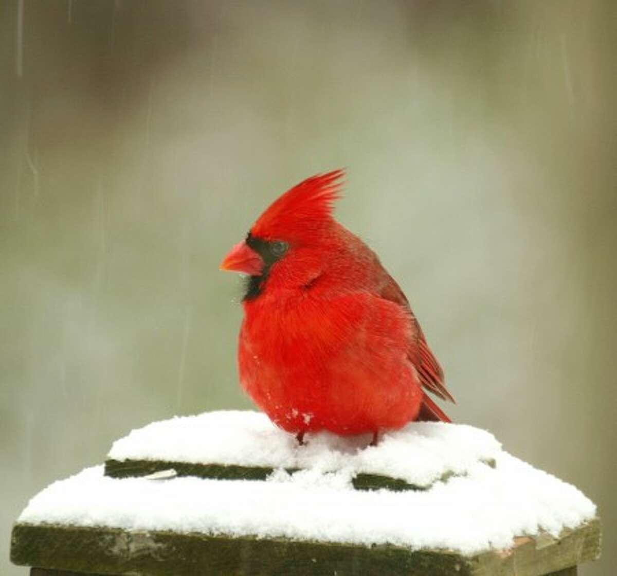 Hour photo / Chris Bosak Cardinal