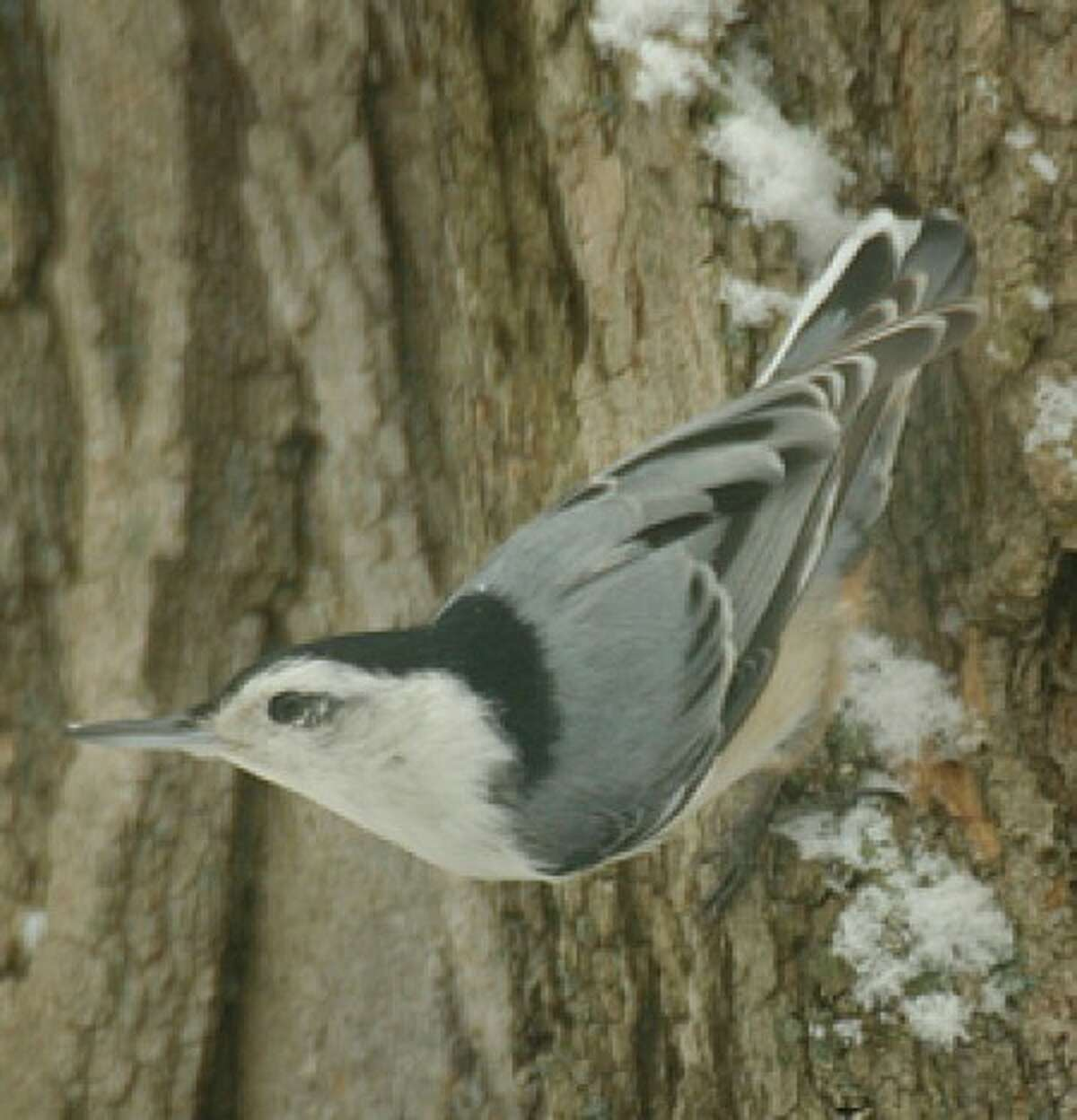 Now 111-year-old Christmas Bird Count this Sunday