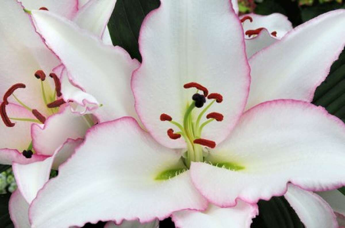 """A Lilium """"Millesimo"""". Dutch hybridizers are gilding the lily, upgrading the cut flower favorite that also brings long-lasting beauty to gardens. (AP Photo/The Netherlands Flower Bulb Information Center)"""