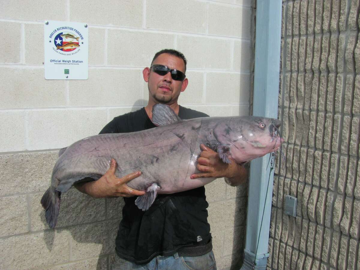 Louis Gonzales, a New Braunfles man, has caught several fish at Lake Dunlap including three that exceeded 50 pounds. His latest catch broke the lake's catch-and-release record.