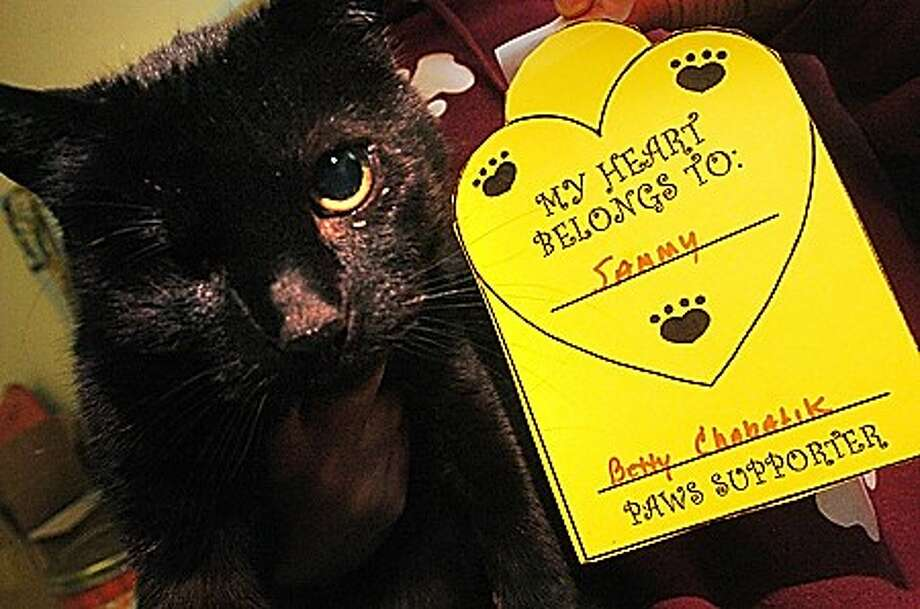 Sammy, a 12 year old cat has a Valentines heart donated to him at the Paws animal shelter in Norwalk. All donations support the pets up for adoption at the shelter. hour photo/matthew vinci