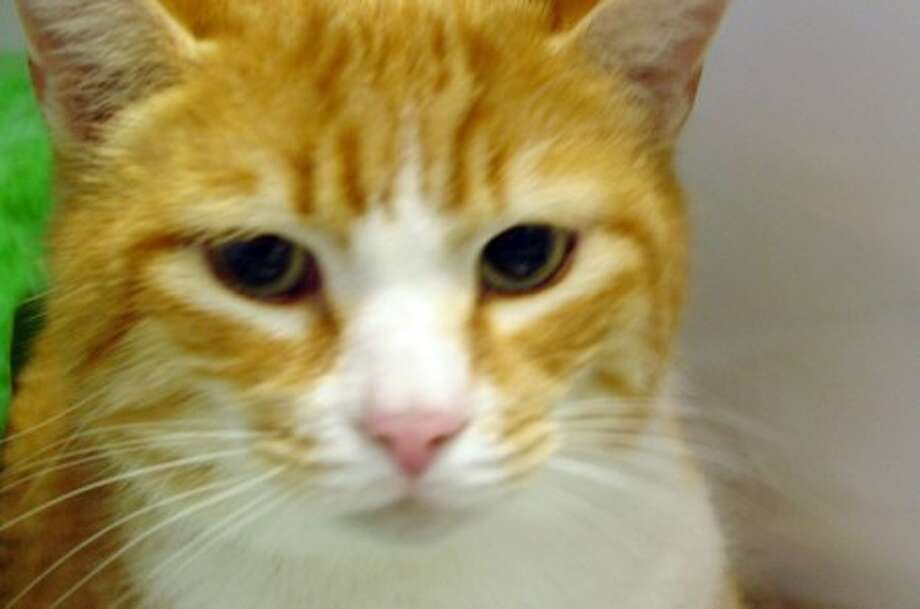 Mango is available for adoption through Friends of Felines at www.adoptapet.org or call 203-363-0220..