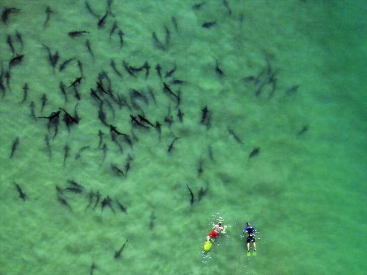 Leopard sharks congregate each summer off La Jolla Shores.
