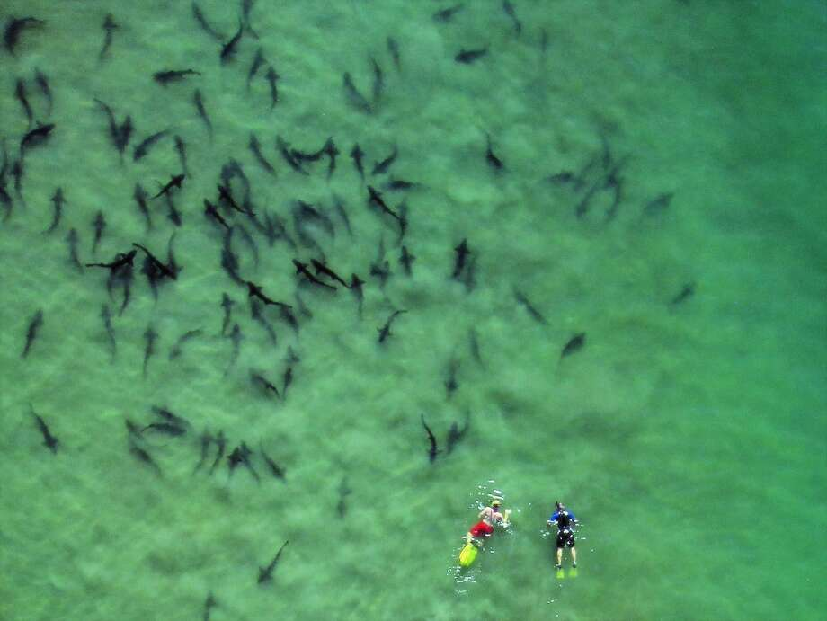 Leopard sharks gather off La Jolla Shores. Photo: Andy Nosal