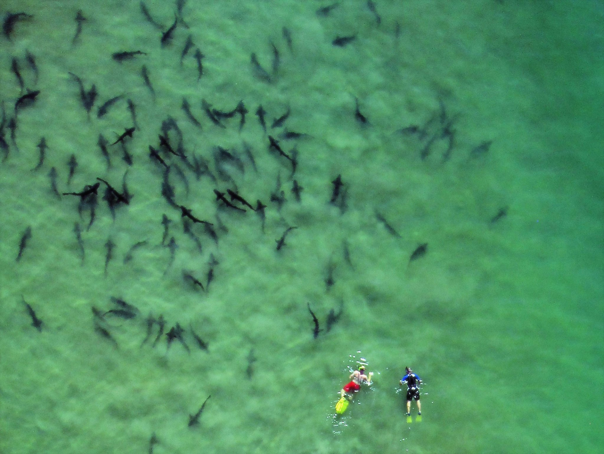 Sharks Feed Frenzy Of Escape To La Jolla Sfgate