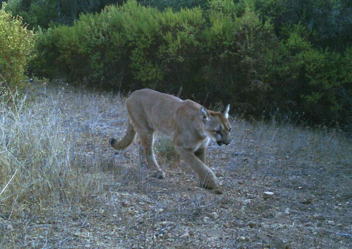 Trail cam set up above Foothills Park near Skyline on Peninsula captured this shot of mountain lion meandering down trail.