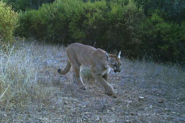 Trail cam set up above Foothills Park near Skyline on Peninsula captured this shot of mountain lion meandering down trail