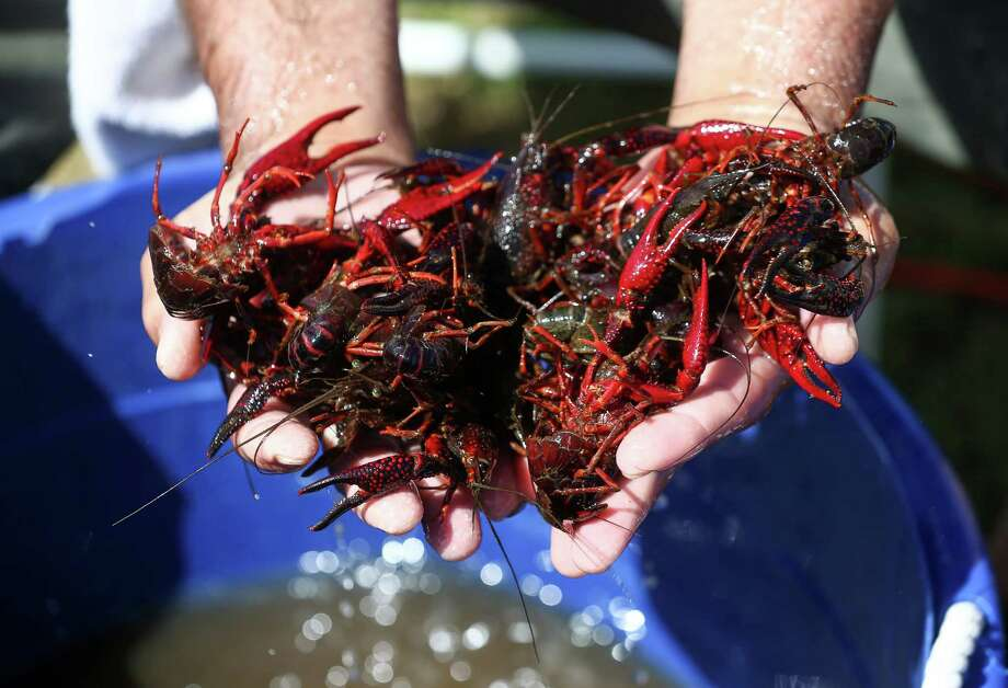 Normally, having too many crawfish sounds like a good thing, that is, if you are on the Gulf Coast and it's the spring and early summer.But up in Minnesota, state wildlife officials are monitoring an invasive species of crawfish that they worry could multiply and wreak havoc on the ecosystem, September, 2016. People here in Houston and the rest of the third coast crave the very thing that officials are trying to banish. Photo: Jon Shapley, Houston Chronicle / © 2015  Houston Chronicle