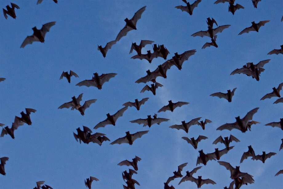 Mother Bats Take Flight With Newborns For The First Time