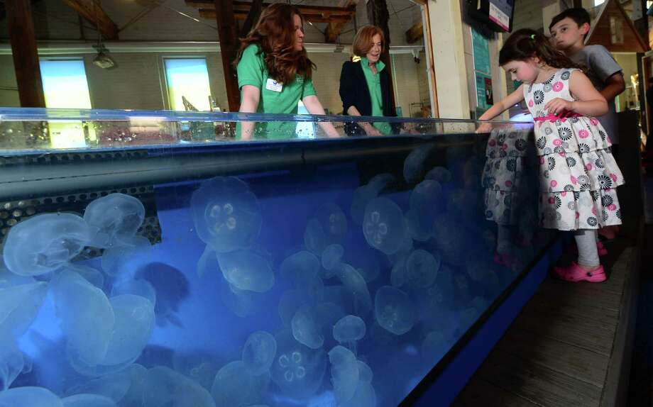 Lucy and Jonah Lotstein, 5 and 8, touch Moon Jellyfish in a touch tank at The Maritime Aquarium in Norwalk, Conn. while aquarium volunteers Maureen Twomly and Anne Berlack look on Tuesday June 14, 2016. The Maritime Aquarium 's jellyfish growing operation distributes jellyfish to other aquariums across the country. Photo: Erik Trautmann / Hearst Connecticut Media / (C)2016, The Connecicut Post, all rights reserved