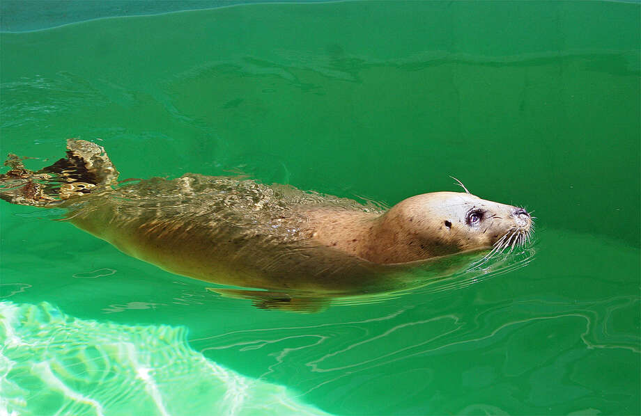 A harbor seal named Susie, believed to be second-oldest seal in the United States, has died, the The Maritime Aquarium in Norwalk announced on Saturday, June 4, 2016. Susie, who has been at The Maritime Aquarium since its opening in 1988, was 43 years old. Photo: The Maritime Aquarium