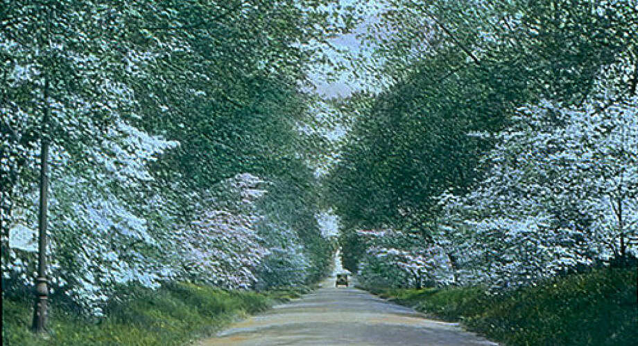 Dogwood blossoms have decorated Fairfield's roads many years. This undated photo of dogwood trees blossoming on Osborn Hil Road was taken by Mabel Osgood Wright, the founder of the Connecticut Audubon Society. Courtesy: Fairfield Musuem and History Center. Photo: Fairfield Citizen