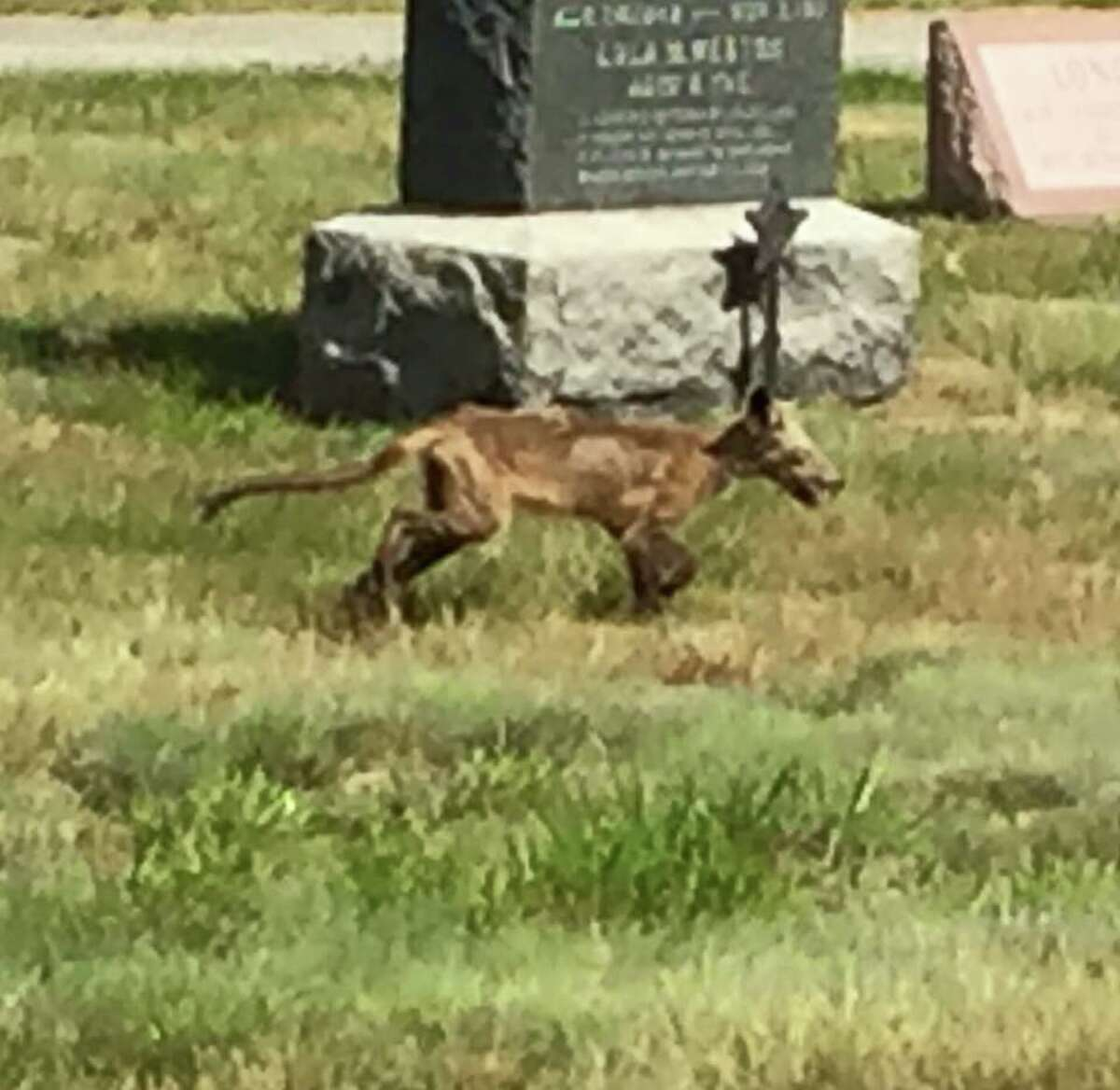 Is there a chupacabra on the loose in California? Here's an alleged chupacabra spotted in New Hampshire. Click ahead to read more about the mythical beast.
