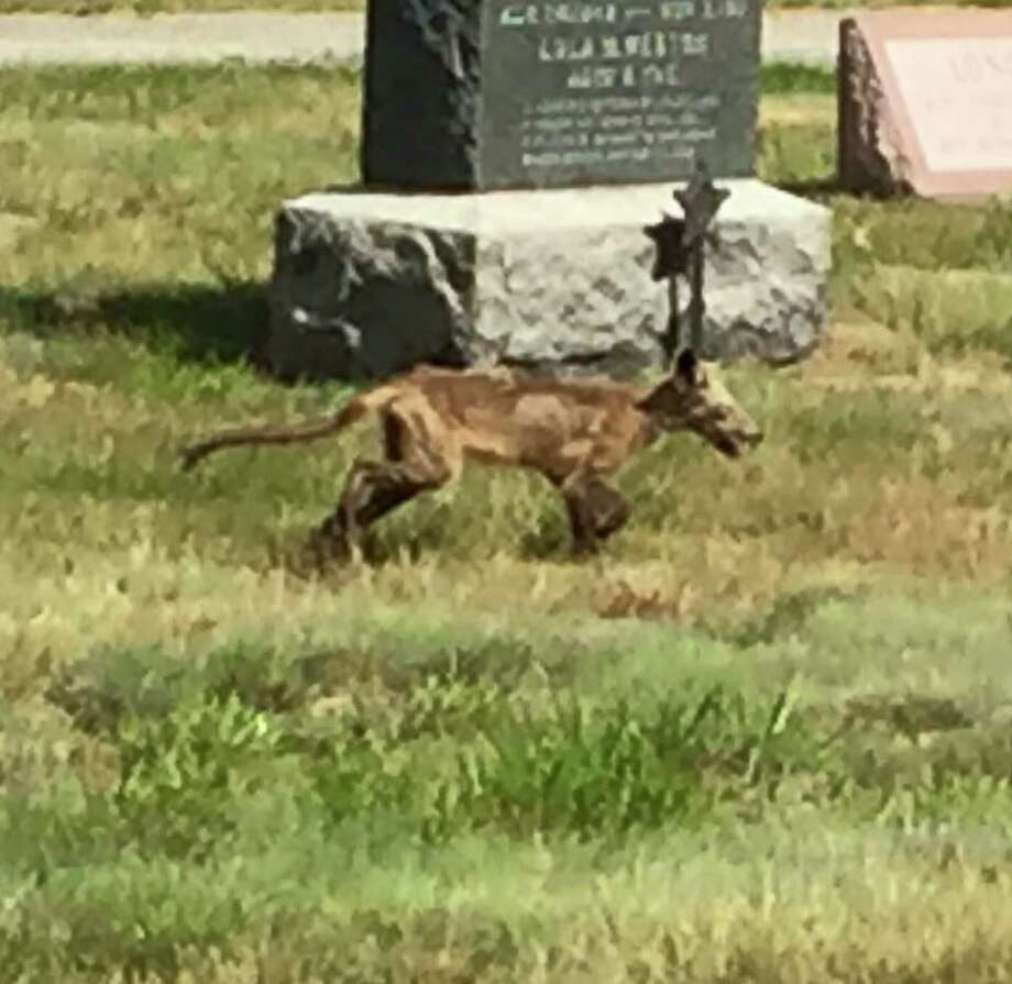 The Merrimack Police Department published a photo on their Facebook page of an animal seen near Upper Elementary School in New Hampshire on June 21, 2016. While believed to be a coyote, some Facebook users suggested it could be the mythical Chupacabra. Photo: Merrimack Police Department