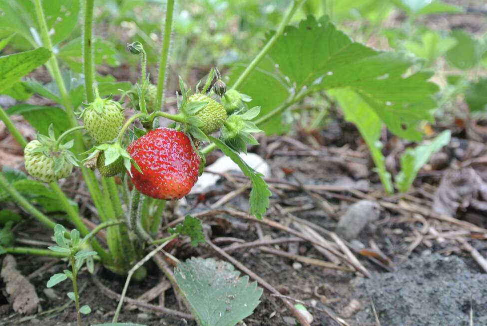 A perfect ruby-colored strawberry waits to be picked and added to a farm share at Soul Fire Farm in Grafton. (Deanna Fox)
