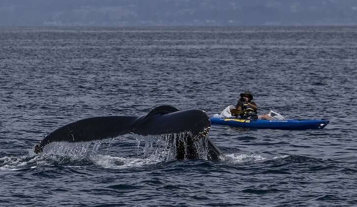A humpback whale dives under a kayak and photographer Giancarlo Thomae in Monterey Bay