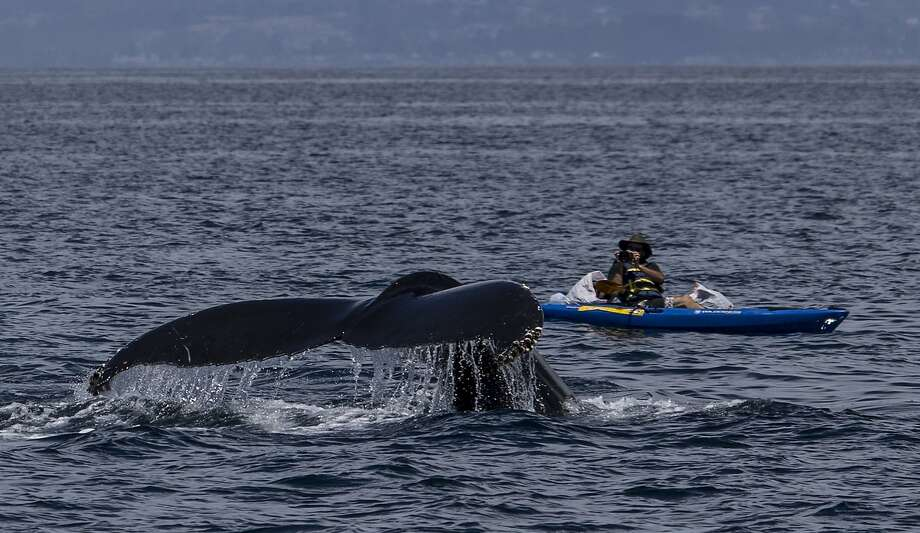 A humpback whale dives under a kayak and photographer Giancarlo Thomae in Monterey Bay Photo: Tom Stienstra, Michael Sack / Special To The Chronicle