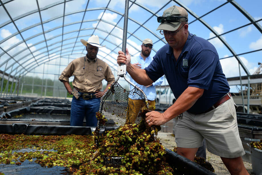 Shawn Malone, with Texas Parks and Wildlife, harvests salvinia weevils at the state's fish hatchery near Lake Sam Rayburn on Wednesday. The state raises the weevils to release into lakes to eat salvinia infestations.  Photo taken Wednesday 6/22/16 Ryan Pelham/The Enterprise Photo: Ryan Pelham / ©2016 The Beaumont Enterprise/Ryan Pelham