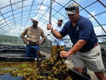 Shawn Malone, with Texas Parks and Wildlife, harvests salvinia weevils at the state's fish hatchery near Lake Sam Rayburn on Wednesday. The state raises the weevils to release into lakes to eat salvinia infestations.  Photo taken Wednesday 6/22/16 Ryan Pelham/The Enterprise