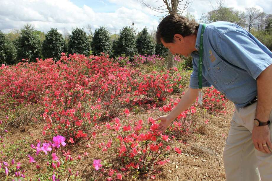 Joseph Johnson, director of horticulture at Shangri La, examines the azaleas which are in full-bloom this weekend. The azaleas should remain bloomed for another few weeks. Photo: Julie Chang