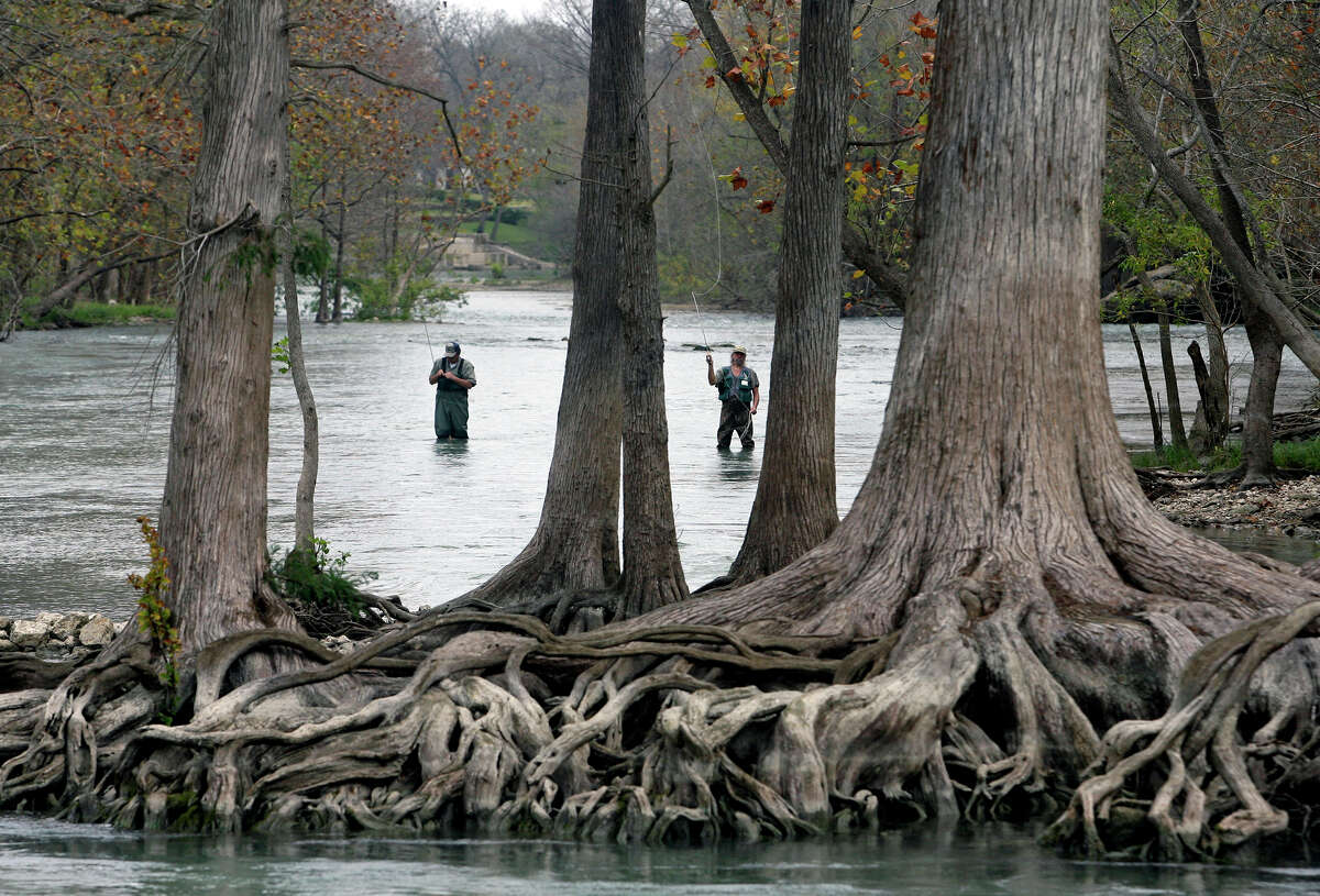 Anglers use fly fishing equipment around some huge cypress trees to land trout released in the Guadalupe River by the Texas Parks & Wildlife Department below Canyon Dam on Dec. 7, 2007.