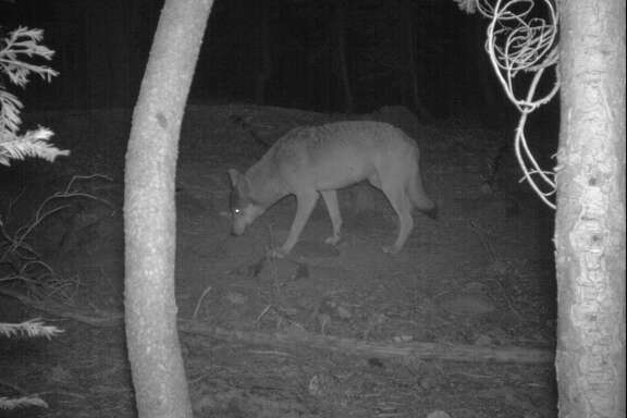 Suspected wolf pictured in Lassen County