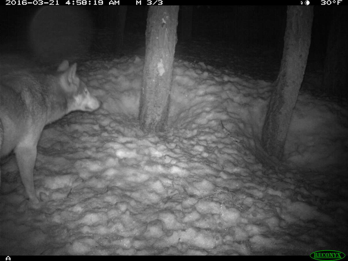 Suspected wolf photographed in Lassen County on March 21, 2016