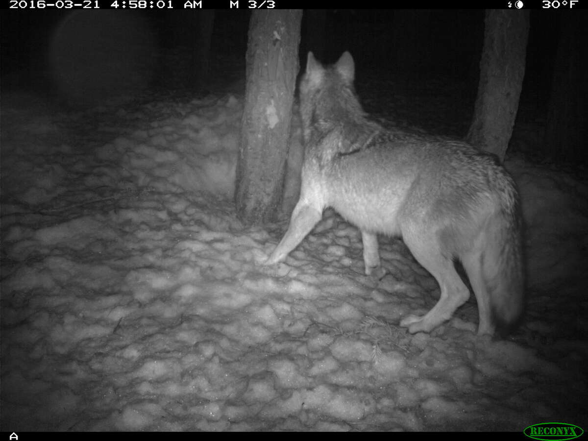 Wildlife experts believe this animal photographed in Lassen County on March 21, 2016 is a wolf.