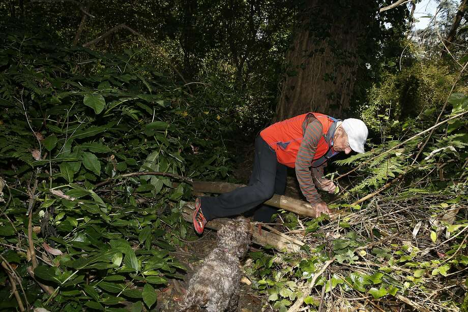 """Retired physician Morley Singer explores trails in Sutro Forest, which he calls """"an untamed forest."""" Photo: Liz Hafalia, The Chronicle"""