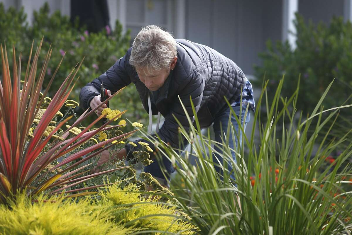 Amy Tessler prunes a yarrow plant in the front yard of her home in Oakland, Calif. on Friday, June 24, 2016. The Tesslers have cut about 66 percent off their water bill since converting to drought resistant landscaping and received rebates from EBMUD to defray the costs of the conversion.