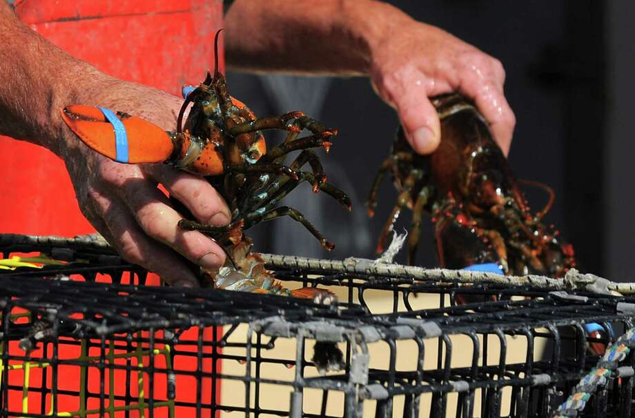 FILE: Mike Kalaman, a Norwalk lobstermen, sorts his catch for the day after returning from 10 hours of fishing the waters of the Long Island Sound near Norwalk, Conn. on Wednesday, June 22, 2016. Photo: Matthew Brown / Hearst Connecticut Media / Stamford Advocate