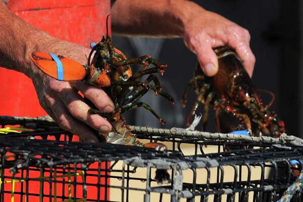 Mike Kalaman, a Norwalk lobstermen, sorts his catch for the day after returning from 10 hours of fishing the waters of the Long Island Sound near Norwalk, Conn. on Wednesday, June 22, 2016.