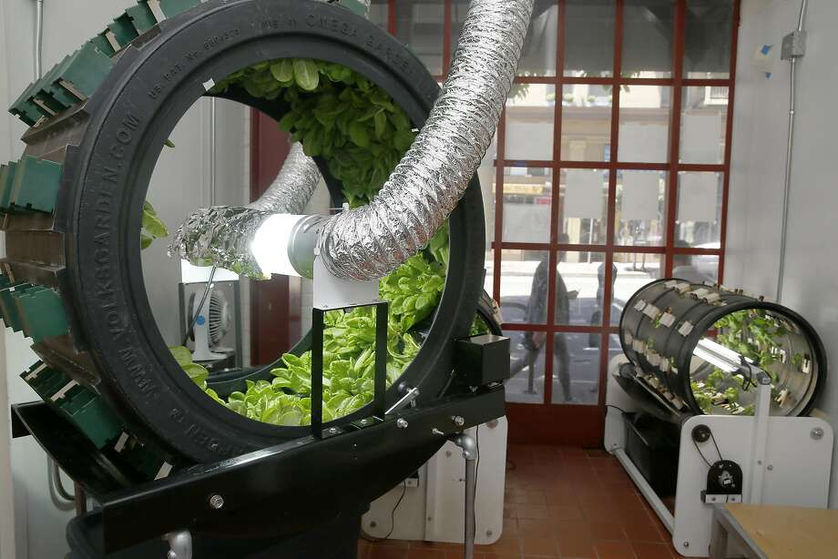 Basil as well as other herbs grown in hydroponic systems at Project Open Hand are used in their meals on Friday, June 24, 2016, in San Francisco, Calif. Photo: Liz Hafalia, The Chronicle