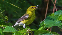 Pine warblers are resident songbirds at Lake Livingston State Park.  It's easy to hear their trilling song.