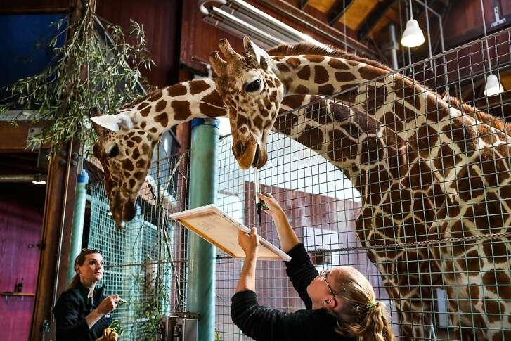 Amy Phelps (right), animal keeper at the San Francisco Zoo, helps a giraffe named Bobby to paint on a canvas as part of the zoo's 'artists in residence', in San Francisco, California, on Thursday, June 23, 2016. Meanwhile, Sarah King (left), assistant curator of Hoofstock and Marsupials, distracted another giraffe with snacks.