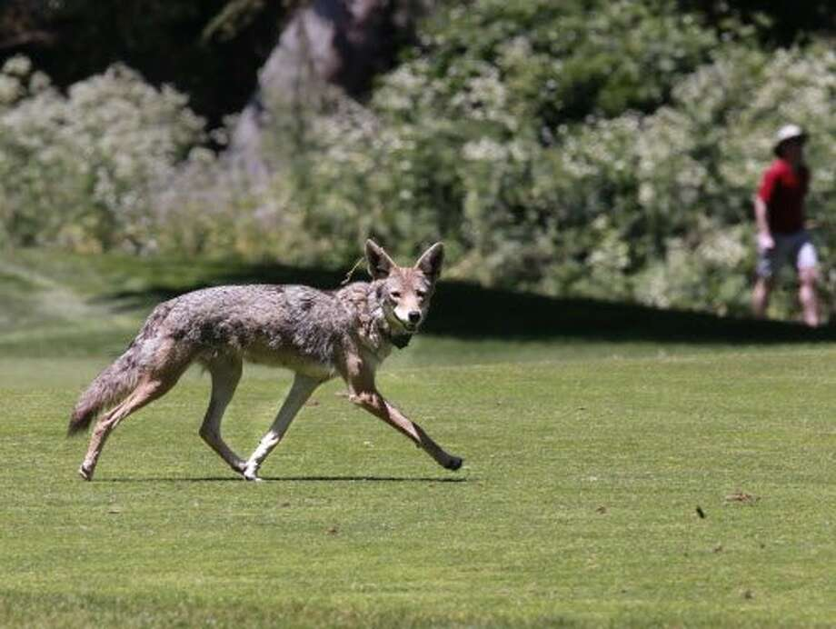 A coyote roaming the Presidio last summer. Photo: Michael Macor, The Chronicle