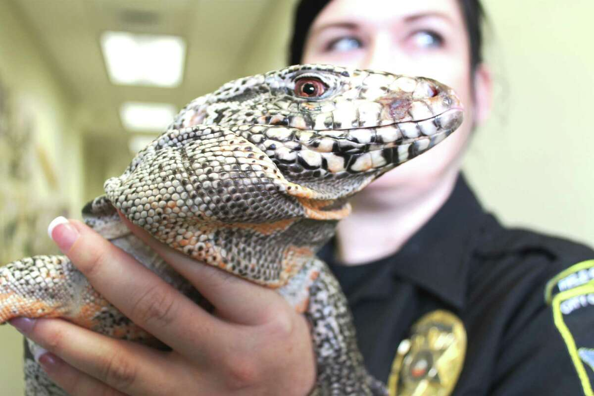 Animal Care Services field operations officer,Audra HoughtonholdsLeandro, a Tegu lizard found on the porch of a Northeast side home.