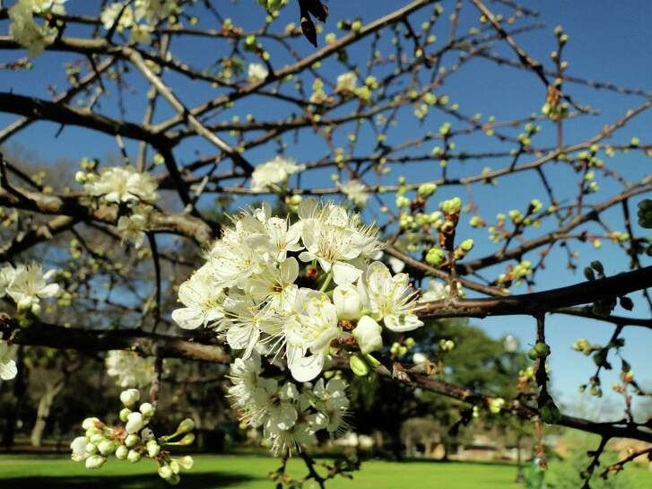 Clouds of fragrant white blooms attract bees to Mexican plum in late winter and early spring.