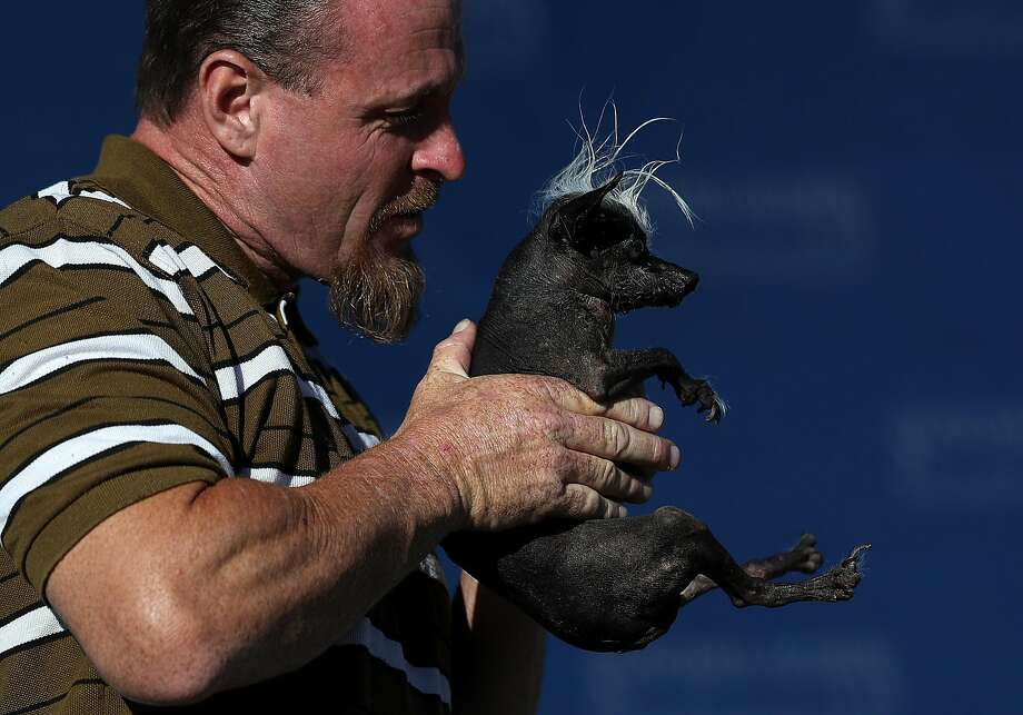 Jason Wurtz displays his prize-winning dog, a blind Chinese crested Chihuahua with an oozing sore. Photo: Justin Sullivan, Getty Images