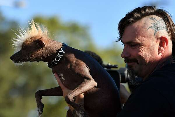 Icky, owned by Jon Adler, is shown during the World's Ugliest Dog Competition in Petaluma, California on June 24, 2016.  / AFP PHOTO / JOSH EDELSONJOSH EDELSON/AFP/Getty Images