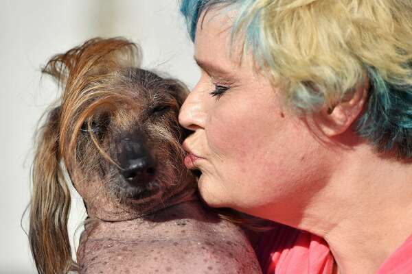 Himisaboo, a mutt with a Donald Trump inspired hairdo, gets a kiss from his owner Heather Wilson during the World's Ugliest Dog Competition in Petaluma, California on June 24, 2016.  / AFP PHOTO / JOSH EDELSONJOSH EDELSON/AFP/Getty Images