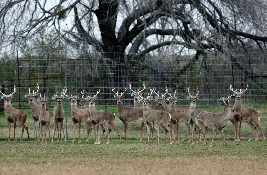Younger bucks herd together in a pen as Gery Moczygemba shows his deer breeding operation in Karnes County on February 14, 2015 Photo: Tom Reel, Staff / San Antonio Express-News / San Antonio Express-News