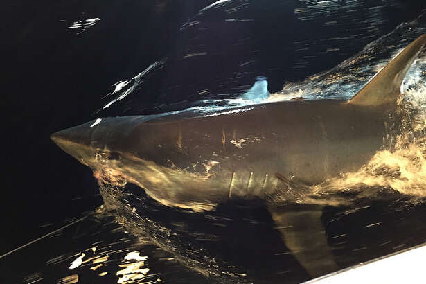 """Researchers from Texas A&M University - Corpus Christi will be featured in a special kicking of Discovery Channel's """"Shark Week."""""""