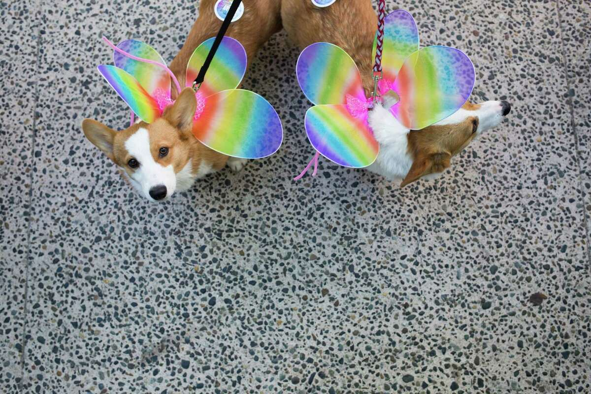 Dynamo and Sebastian, two corgis, wander the crowd before the start of the 42nd annual Seattle Pride Parade on Sunday, June 26, 2016.