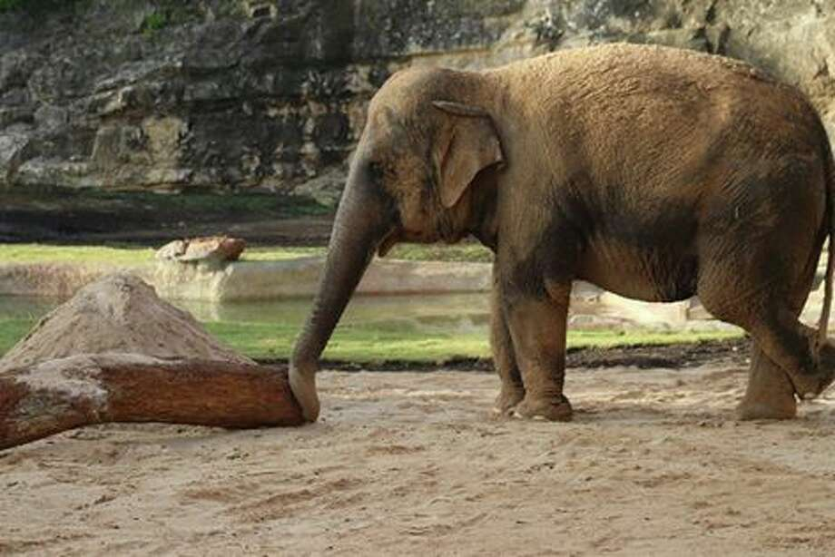 The San Antonio Zoo announced Monday their latest addition to the elephant habitat. The zoo welcomed a female elephant, Nicole, and have introduced the two elephants in a private space to allow them to get acquainted. Photo: San Antonio Express-News