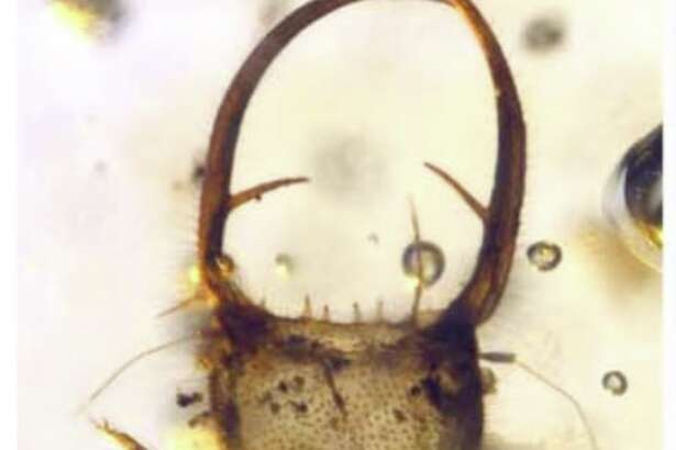 Myrmeleontoid larvae from Mid-Cretaceous Burmese and French ambers: (  A  ) Morphotype MI, BA12015, dorsal aspect.