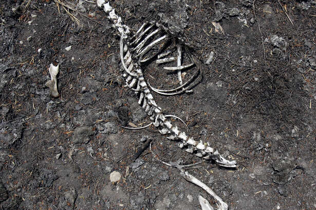 Sun bleached bones on scorched grass littered a San Antonio site during a recent Texas drought.