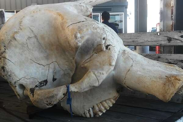U.S. Customs and Border Patrol agriculture specialists seized an elephant skull from a truck attempting to cross from Mexico into the Hidalgo/Pharr/Anzalduas Port of Entry in South Texas on June 22.