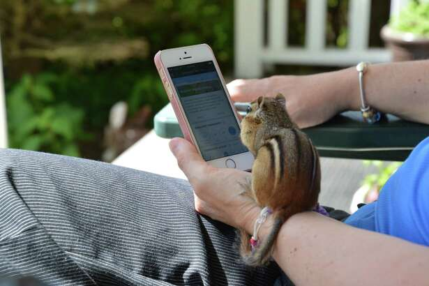 """Bruce Jeffers of Guilderland says """"This is our female chipmunk, Chippy!  She has lived in the ground in the front yard for a few years now.  She enjoys gathering almonds from us while we sit on the porch.  Now she also likes to play on the Iphone!"""""""